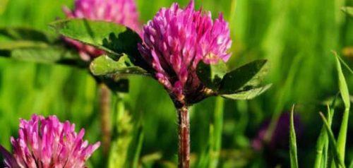 Photo of 11 فائدة صحية لعشب البرسيم الأحمر منها الوقاية من السرطان وتعزيز الخصوبة والمناعة