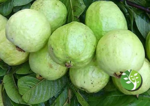 Photo of Beber ñame de raíz de frijol o jugo de guayaba puede mejorar la salud de su corazón